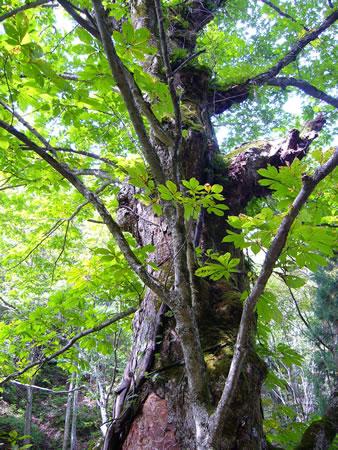 ツボクリ谷のトチの大木