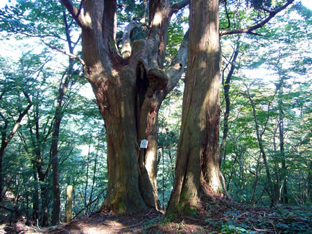 千年杉(台杉)