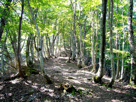 きれいな樹木の中を通る登山道