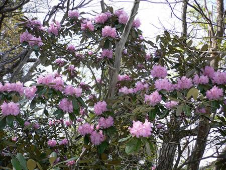 たくさんの花をつけるシャクナゲ(石南花)