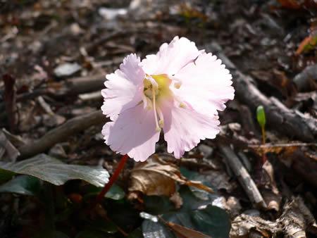 可憐なピンクのイワウチワ(岩団扇)の花