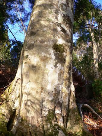 登山道にあるブナの大樹