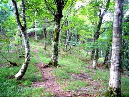 傘峠直下の鞍部のブナ林