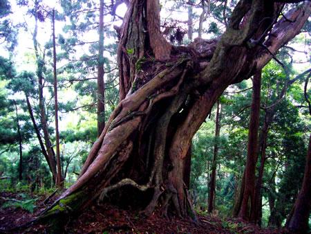 P850付近にあるヒノキの保存木