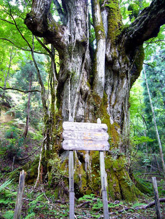 下谷最大のカツラの木(保存木)