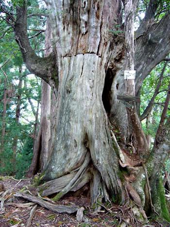 911mピークにある枯れた杉巨木