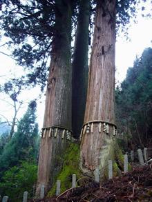 京都の自然200選「三本杉」