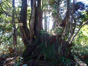 P927の台杉