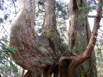 天狗峠直下の巨大な台杉1